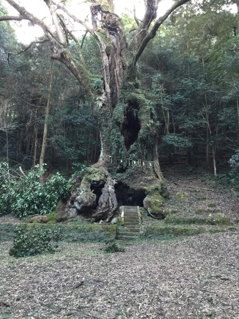 武雄の大クスの木